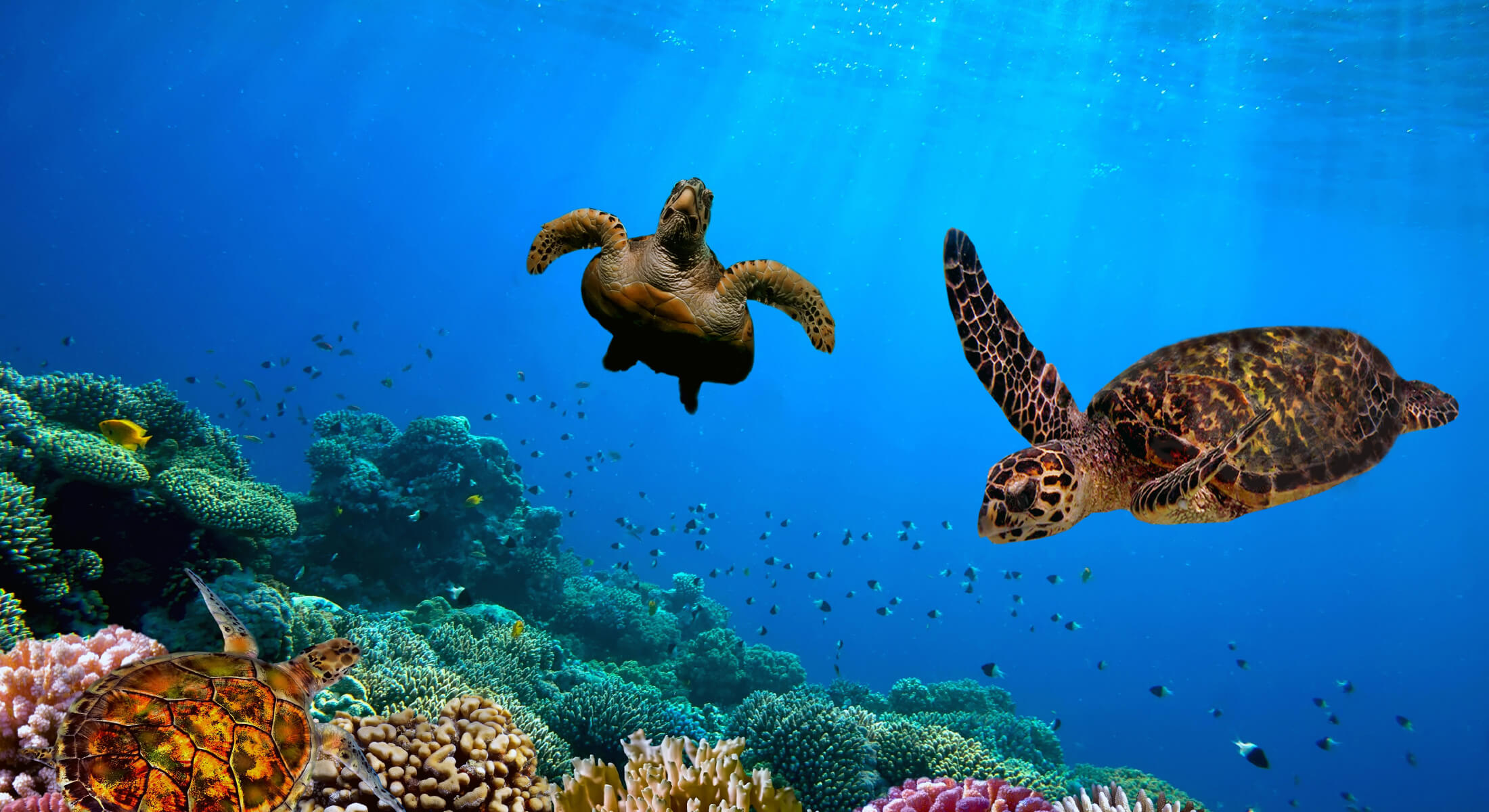 Turtles swimming at a coral reef in the Indian Ocean