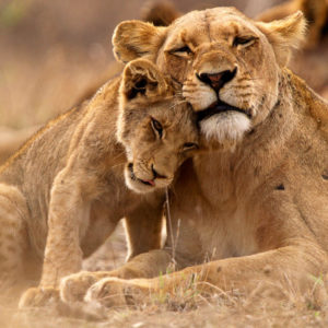 Mother lion with cub