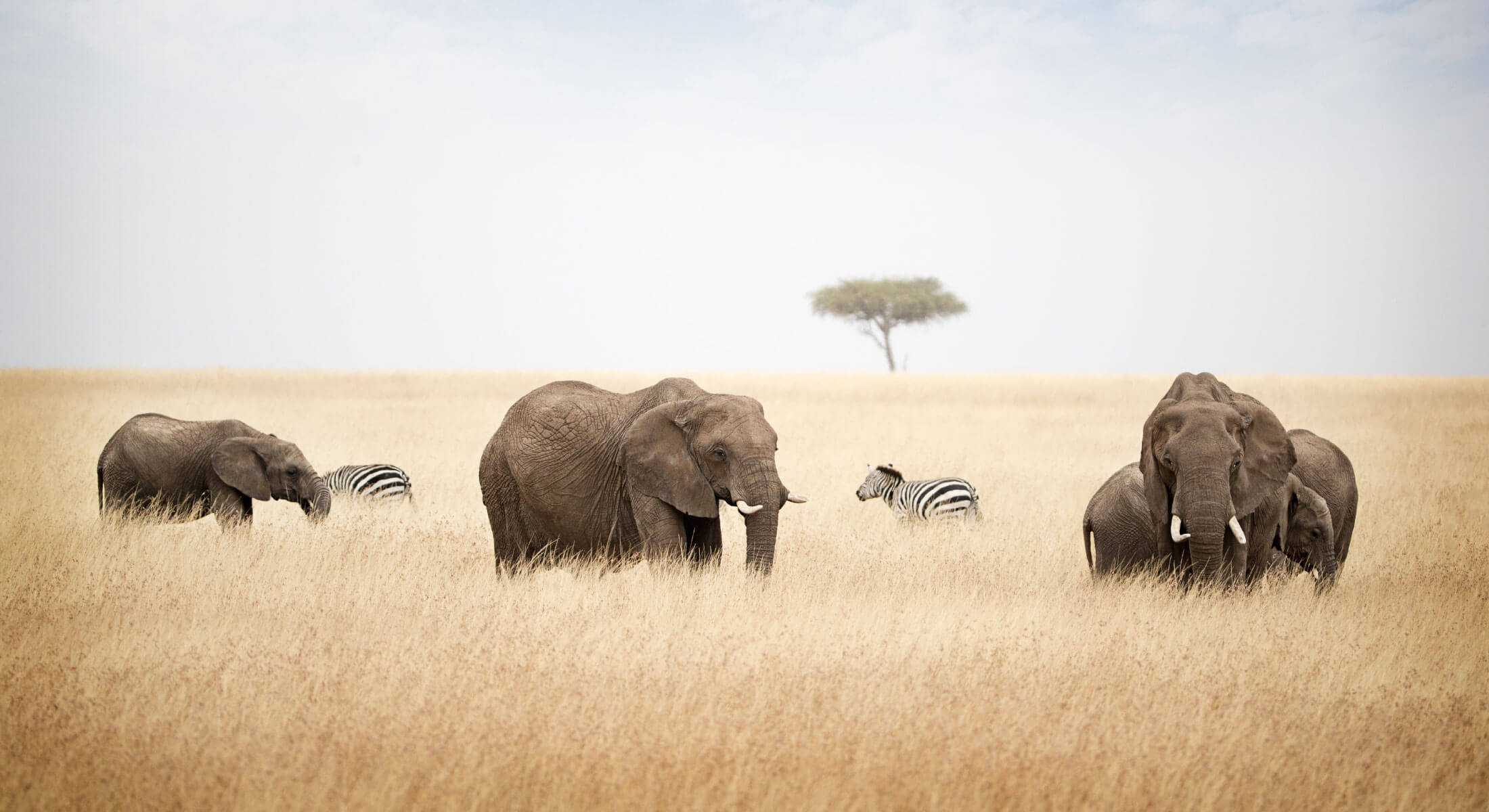 African elephants and zebras in tall grass