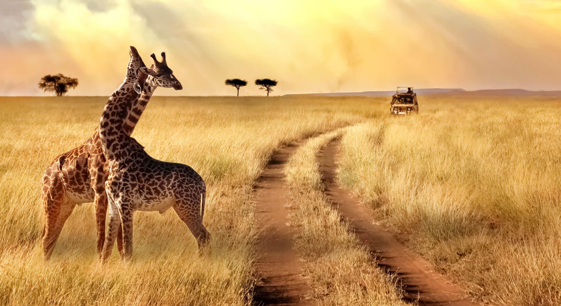 Two giraffes seen on a safari in Africa