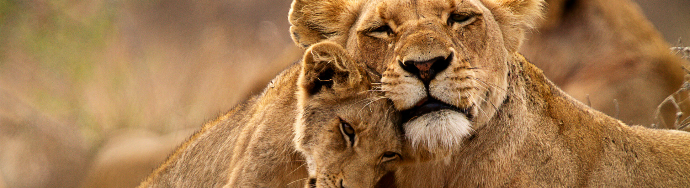 African lion with young