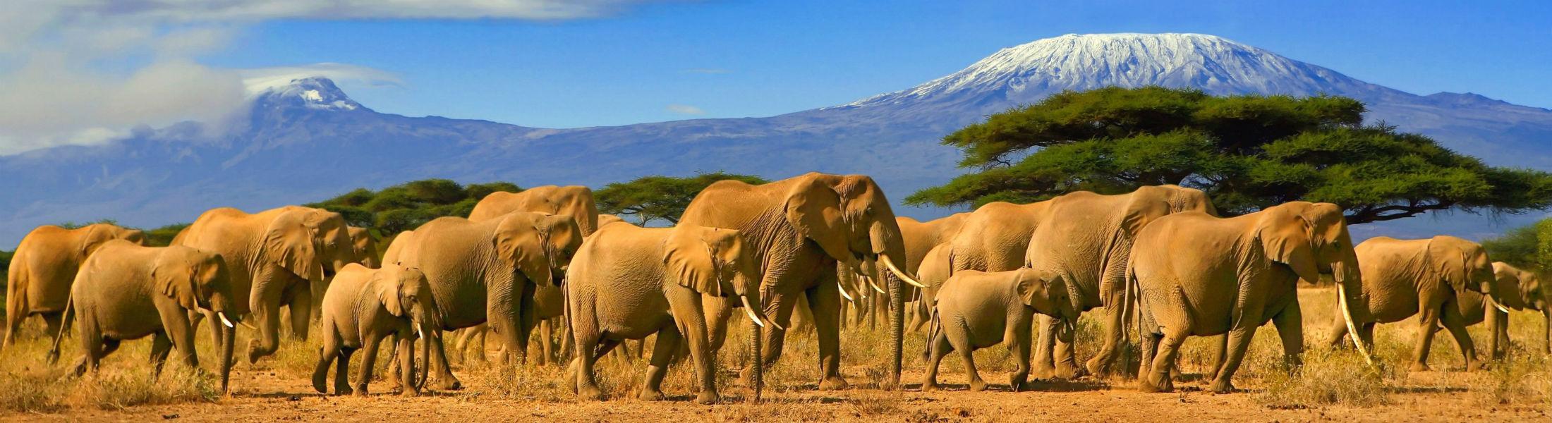 Elephants walking with Kilimanjaro behind