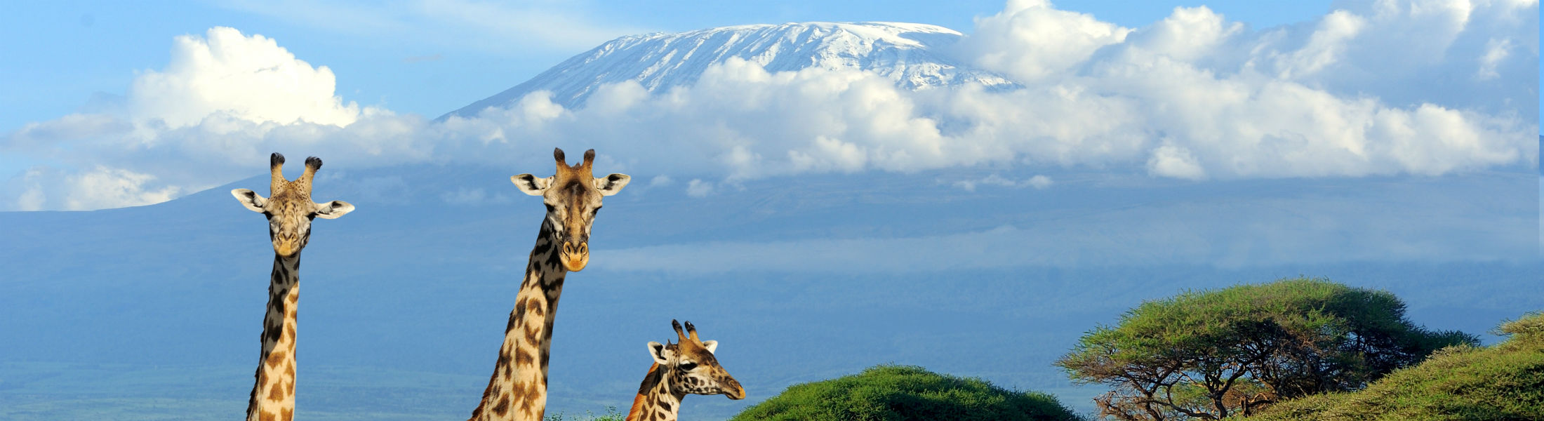Giraffe's looking around