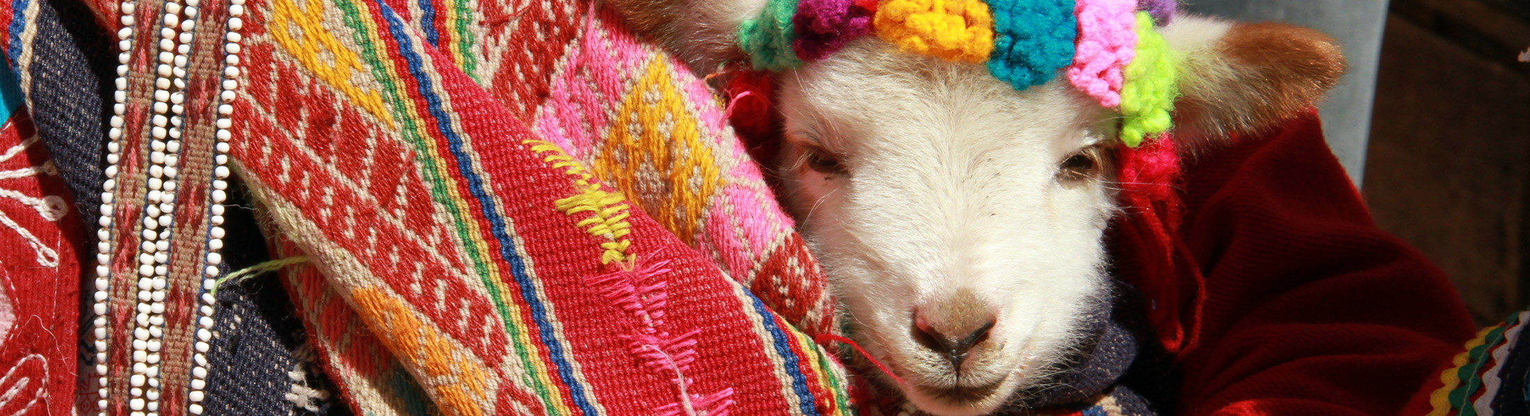 Lamb in Incan Clothing in South America