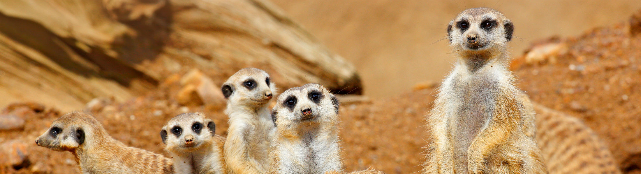 Meerkat family sitting around