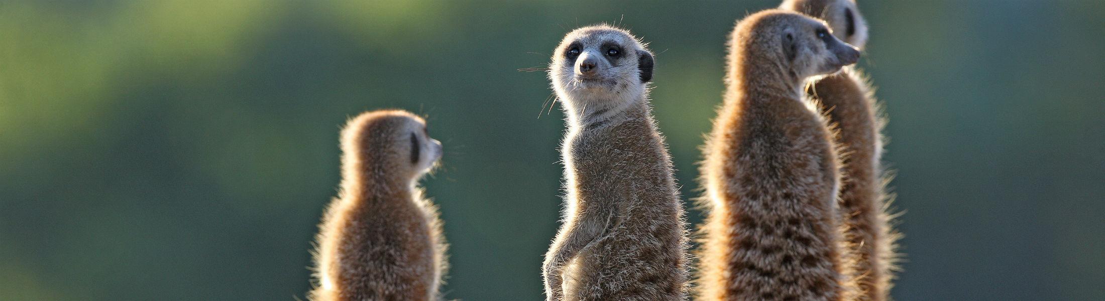 Meerkats looking at camera