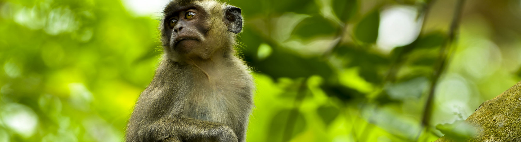Wild macaque monkey in Mauritius