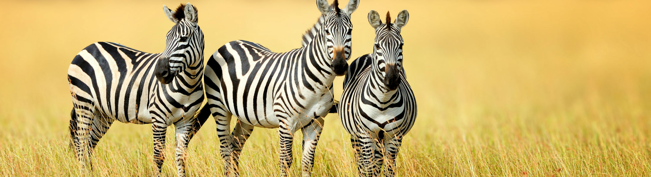 Zebras relaxing on the plains