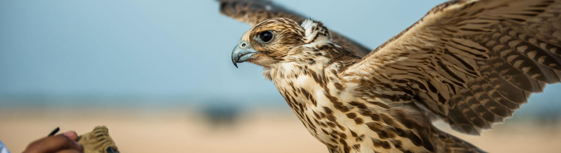 Dubai - Falcon