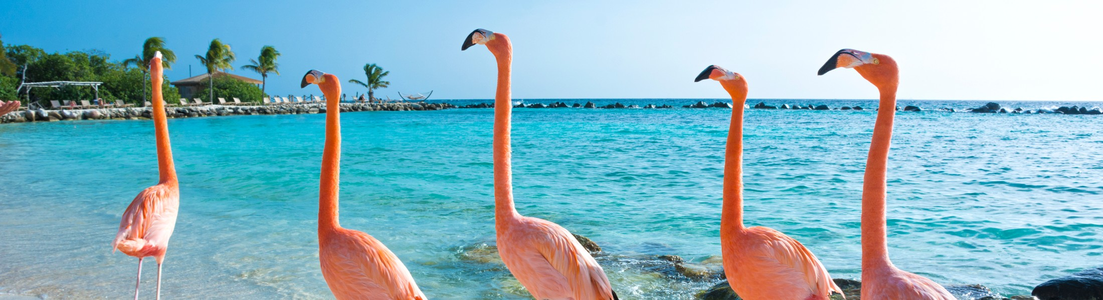 Pink Flamingos on the beach in the Caribbean