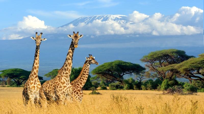 Giraffes on the Savannah in Africa