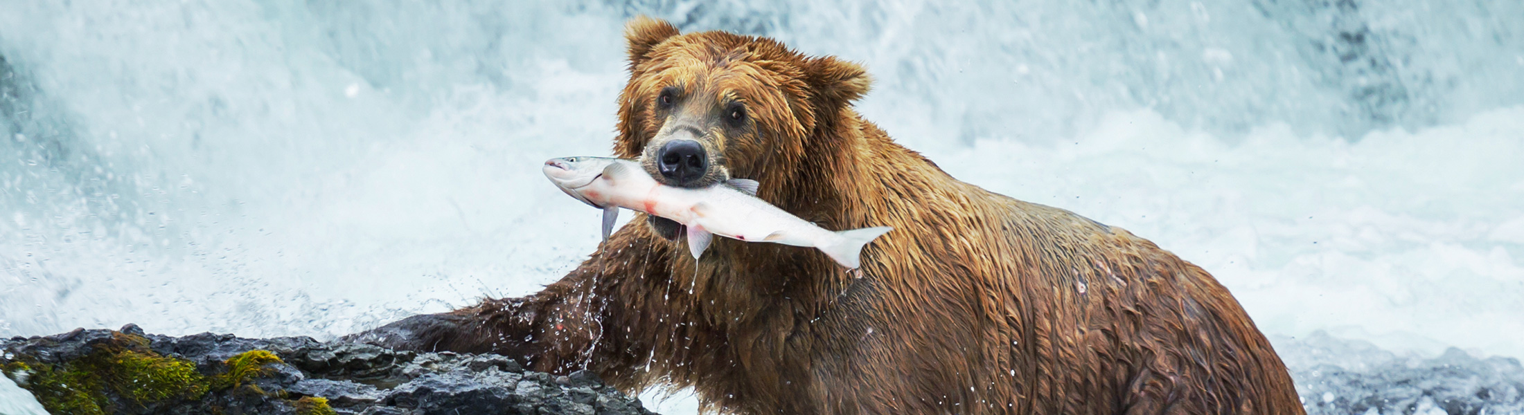 Grizzly Bear Fishing in North America