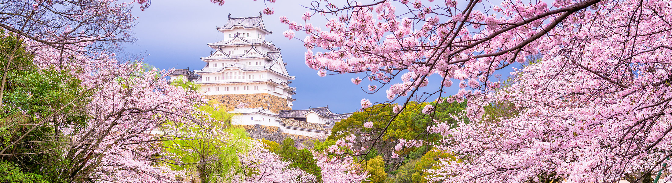 Himeji Castle in Japan viewed through cherry blossoms