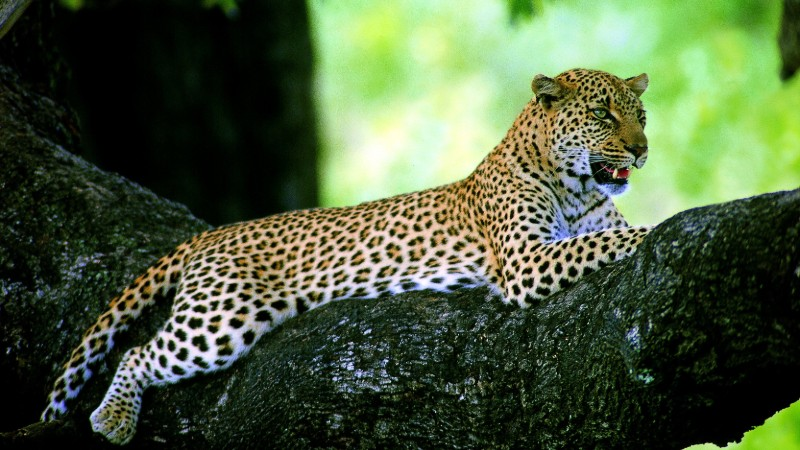 Leopard relaxing in a tree in Africa