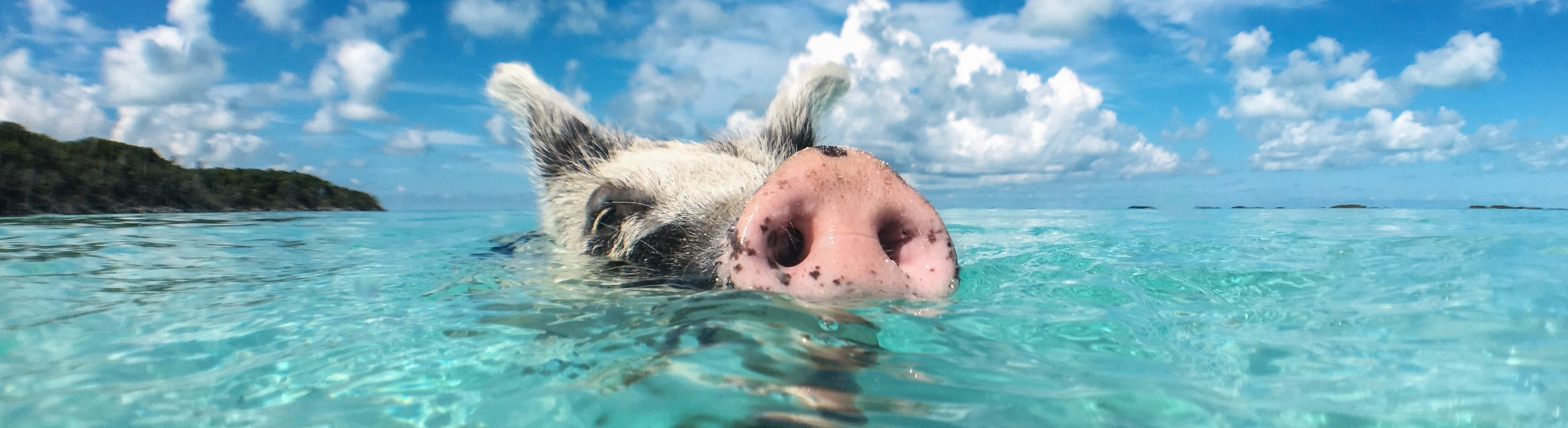 Swimming pig in the Bahamas in the Caribbean
