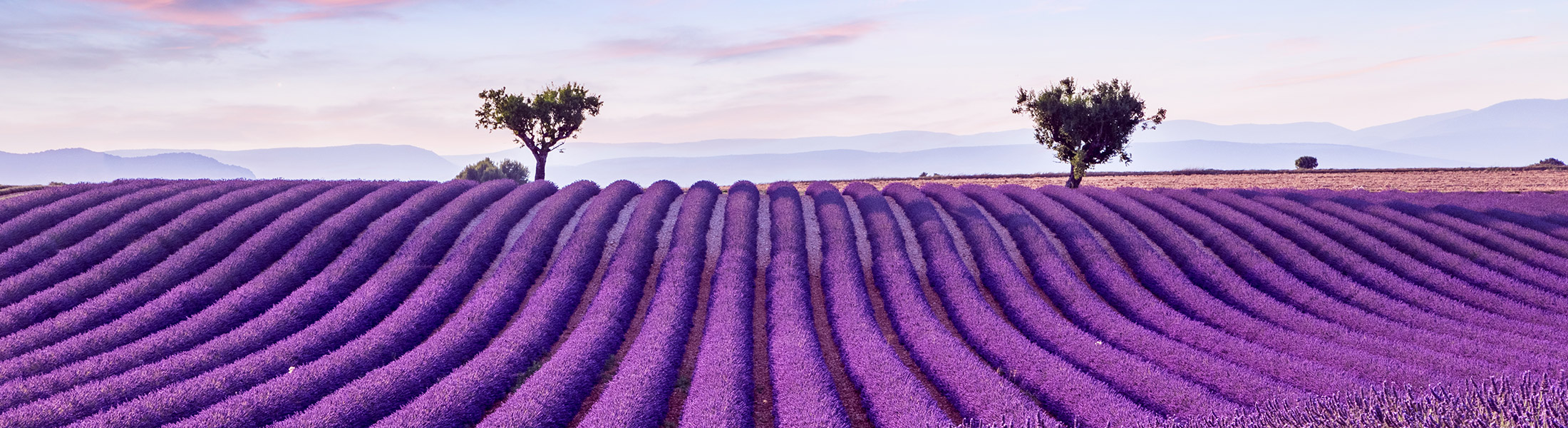Lavender fields in the south of France in Europe