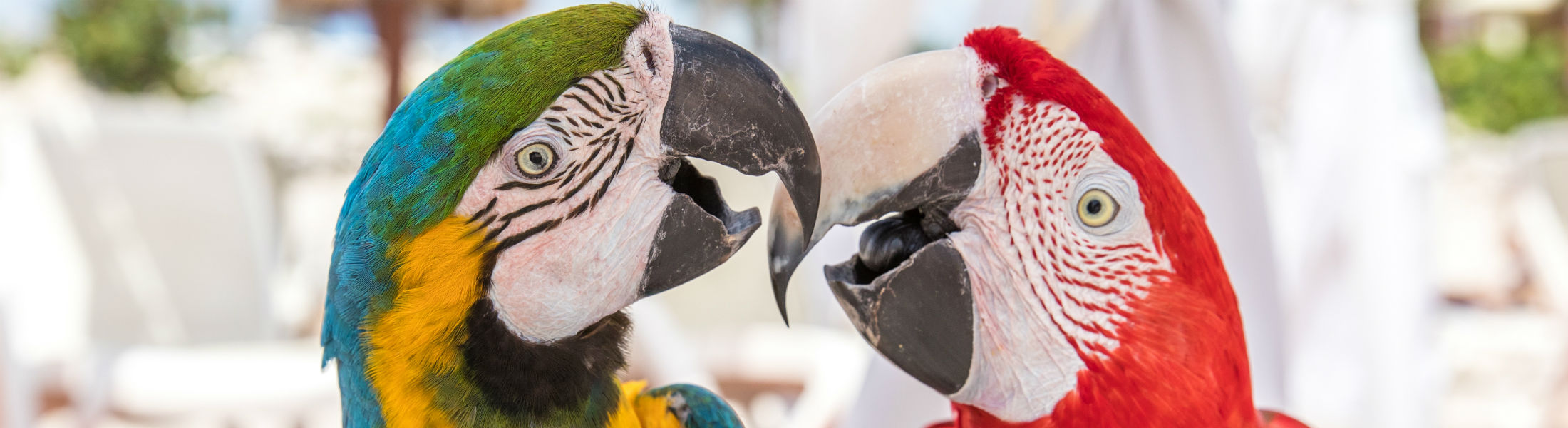 Macaw parrot couple