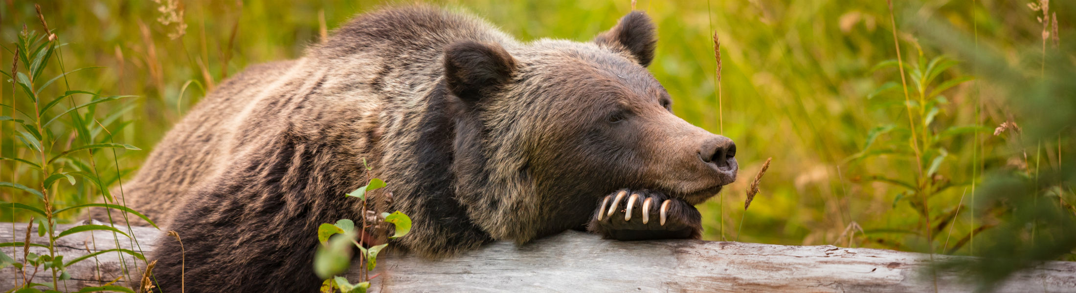 Grizzly bear taking a rest in Banff National Park Alberta Canada