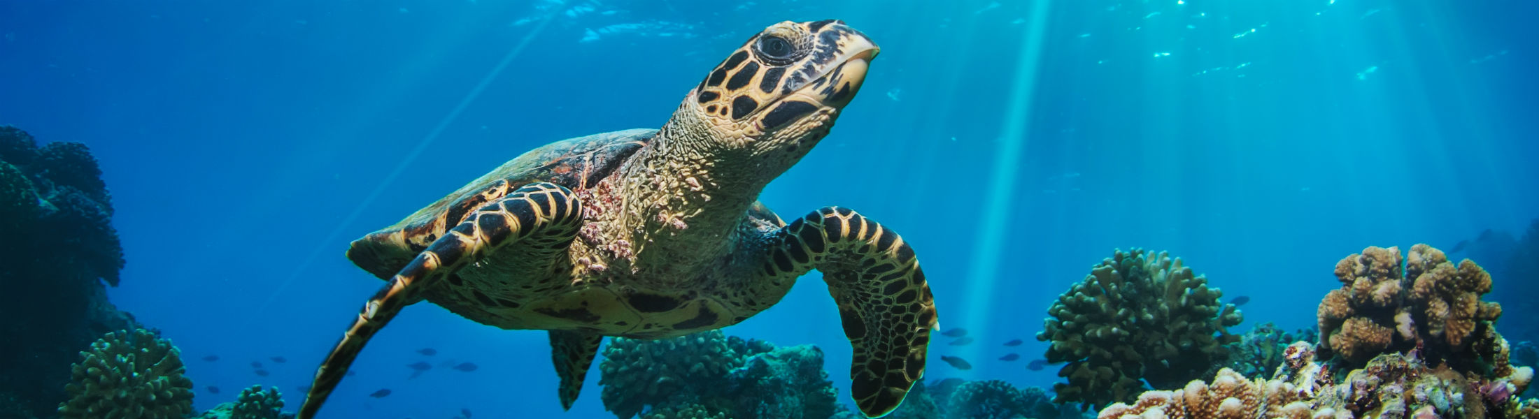 Maldivian Sea Turtle Floating Up And Over Coral reef