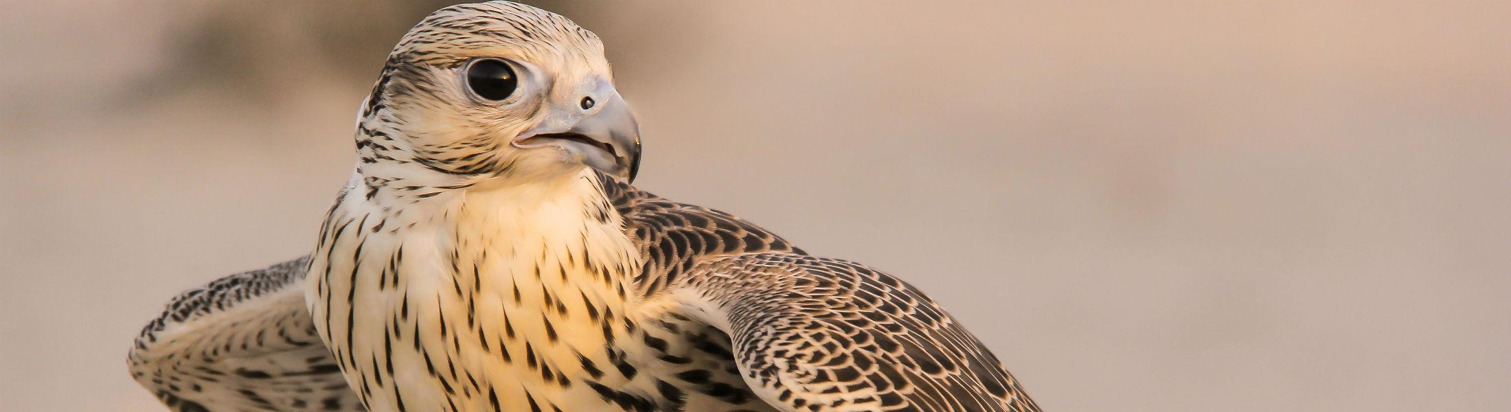 Golden falcon in Abu Dhabi