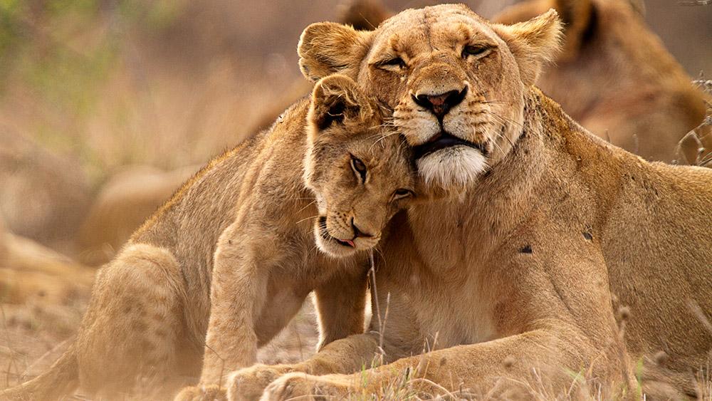 Lion Family seen on a Safari & beach holiday
