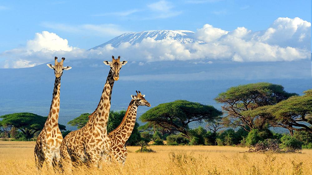 Giraffes seen on a Safari & beach holiday