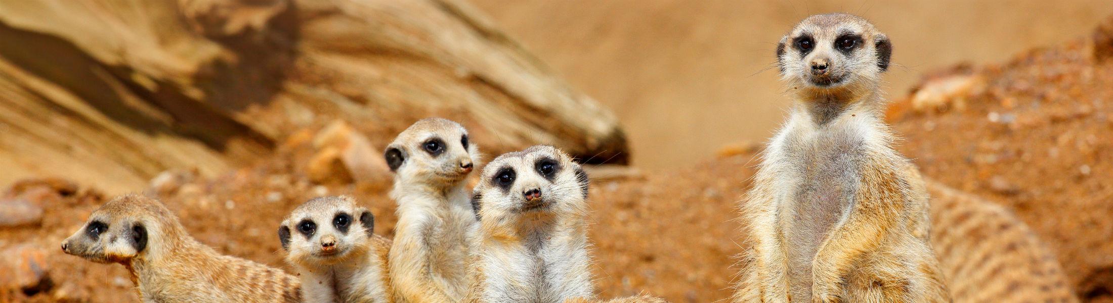 Meerkat family seen on a beach & safari holiday
