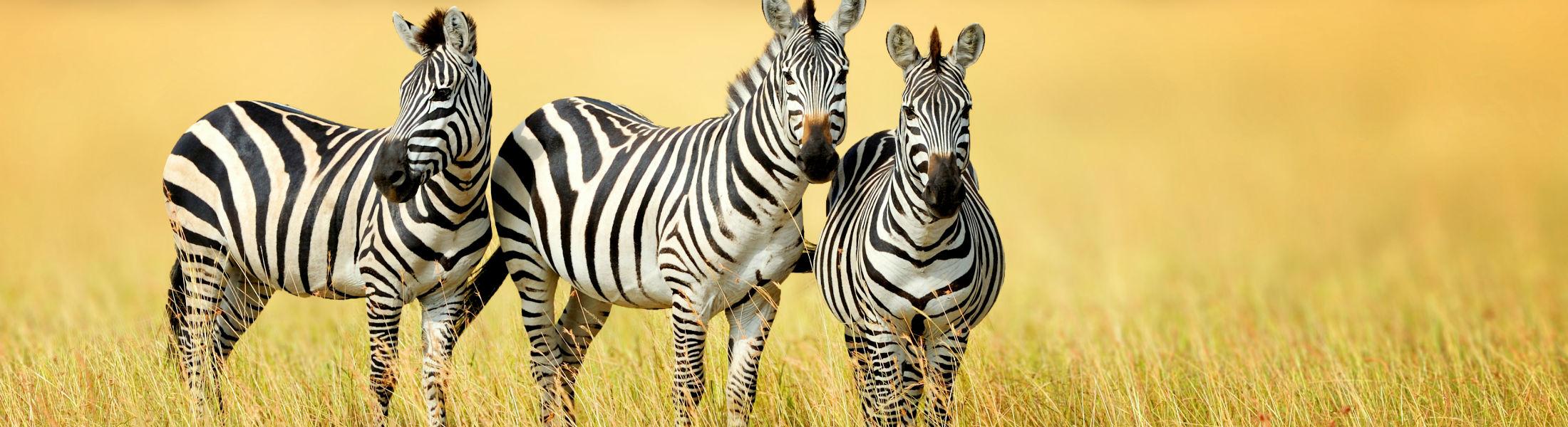 Zebras seen on a beach & safari holiday