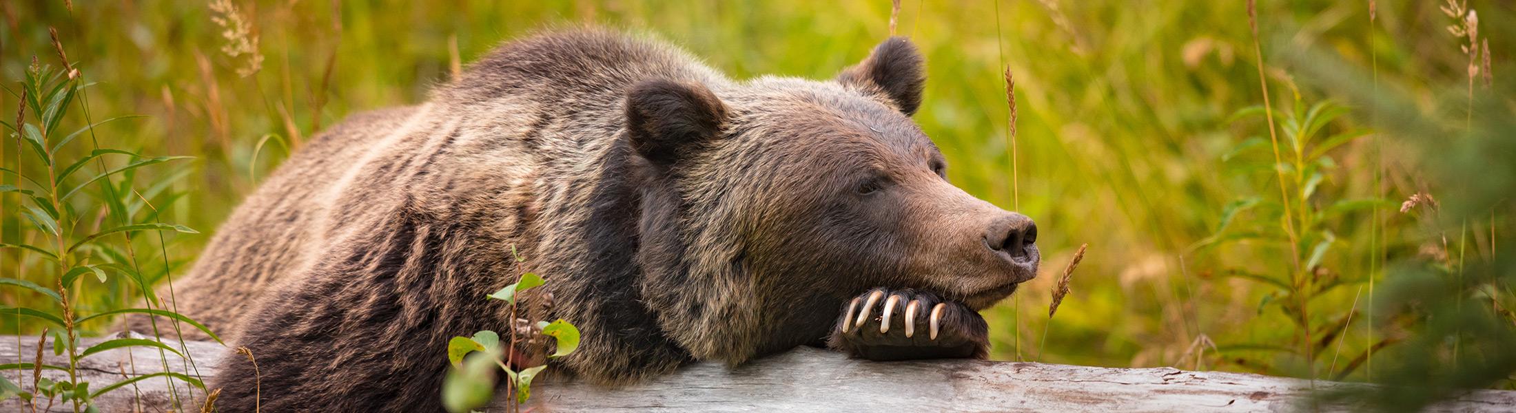 Bear sleeping in British Columbia